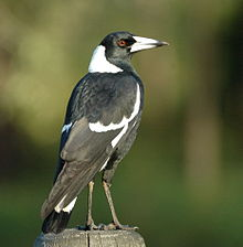 Australian Magpie Pic by Wikipedia