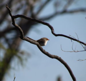 fairy wren native birdlife birdwatching twitcher Australia