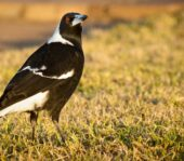 When Magpies Attack