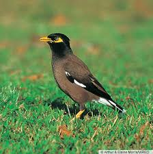 Common Myna bird pest feral ecology