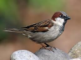 House Sparrow - male ecotourism hiking nature outdoors