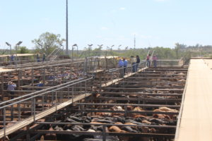 cattle agriculture farming rural cropping