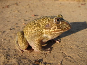 New Holland Frog or Snapping Frog Cyclorana novaehollandiae
