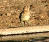 Spotted Bowerbird outback queensland