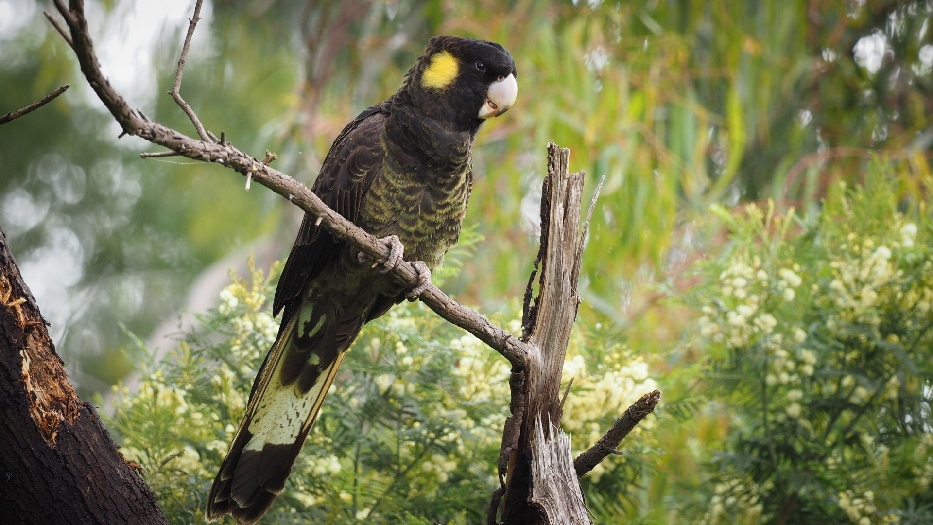 Yellow tailed Black-Cockatoo