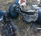 baby emus just hatched