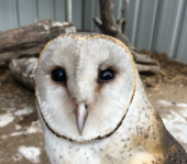 barn owl Roma Maranoa wildlife rescue