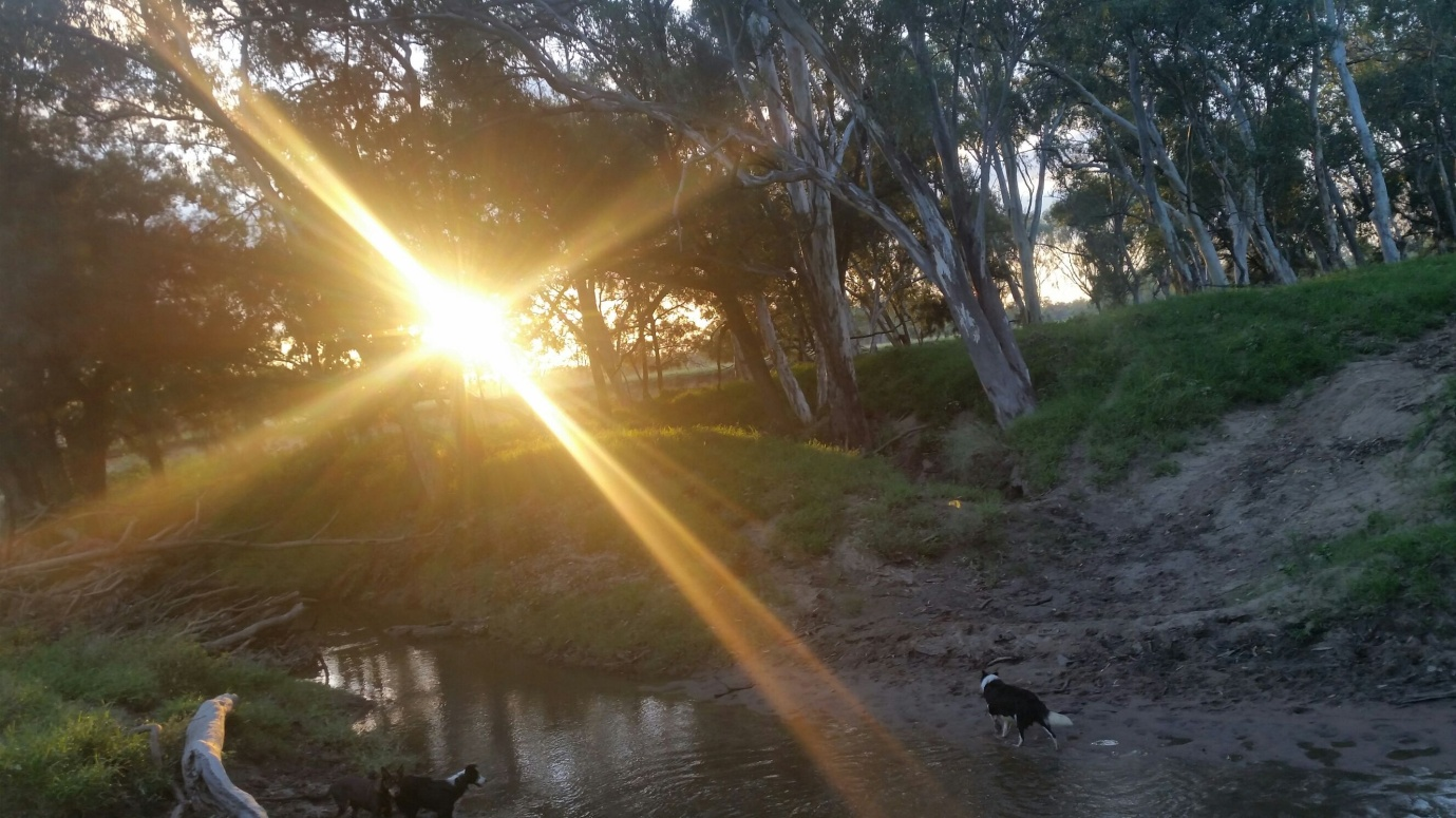 Early Mornings on the farm dogs cattle Roma region Queensland Outback flood water