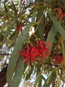 Fleshy Mistletoe flower tree