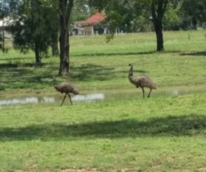 adult emus in town near watering hole