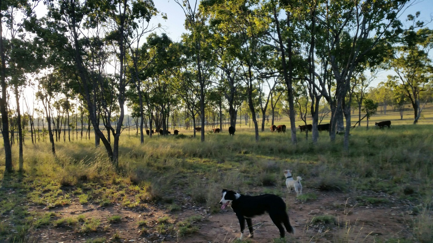mustering dogs