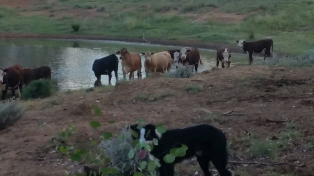 dogs mustering cattle by the dam