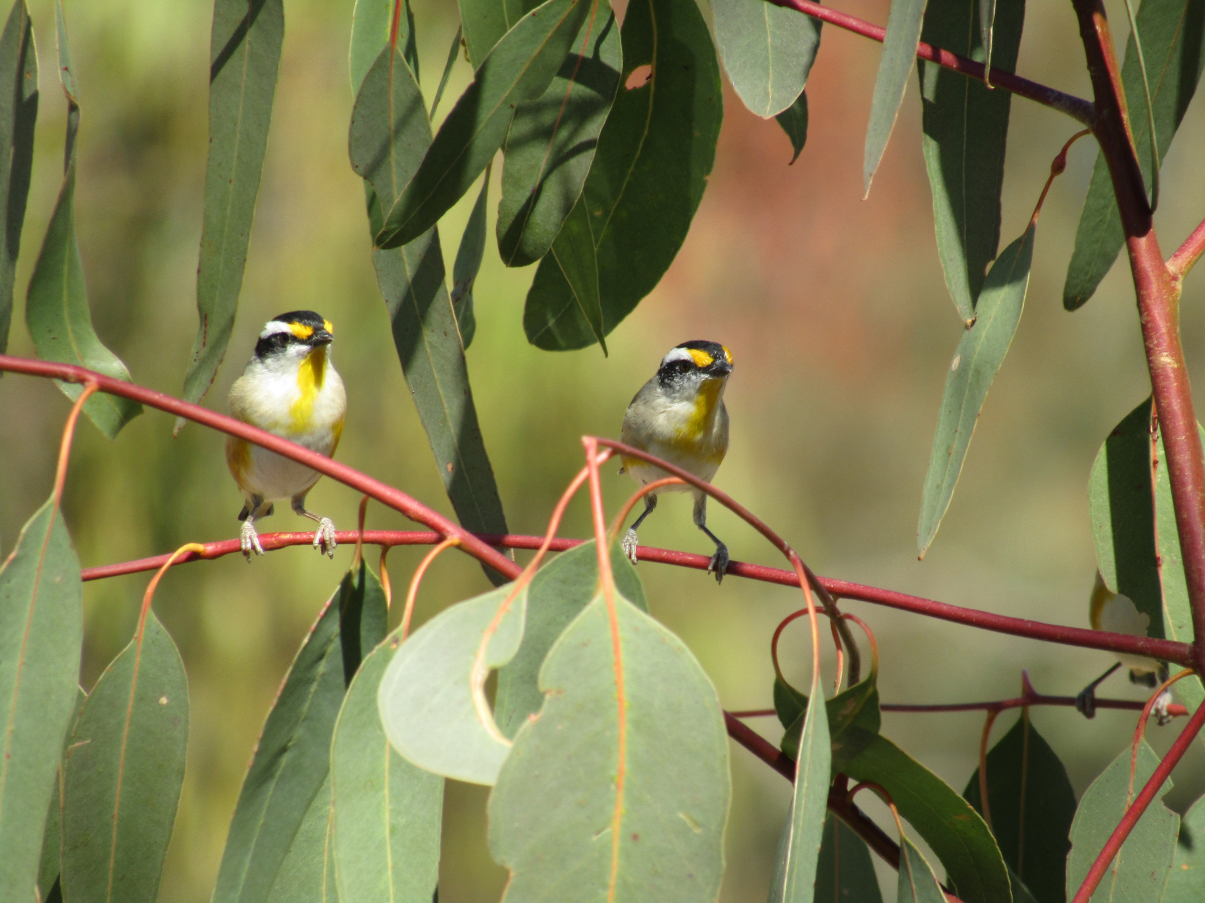 Pardalotes small bird outback Queensland ecology ecotourism