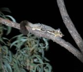Petaurus breviceps - Sugar Glider found at Nugget Hills Roma Outback Queensland ecotourism