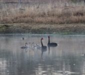 swans on dam at farm ecology rural outback Queensland Roma